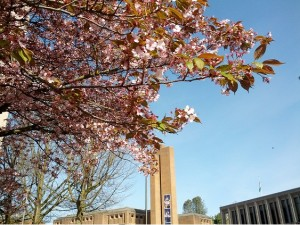 Cherry blossoms on the UW campus