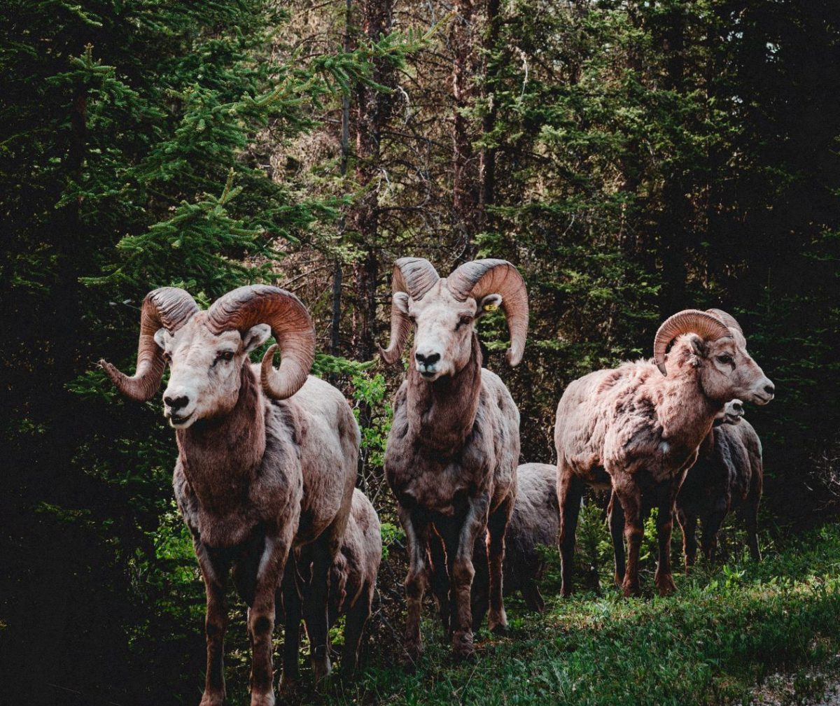Herd of rams in a forest